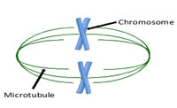 Figure 3: Microtubules attach, organize and separate the chromosomes...