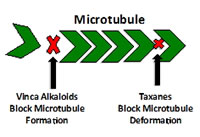 Figure 5: Taxanes impairing microtubule function by inhibiting...