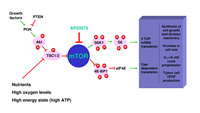 Figure 2: The mTOR signaling pathway