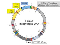 Report Figure 1: The mitochondrial genome
