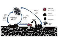 Plan Figure 3: The vicious cycle between tumor cell proliferation and bone resorption.