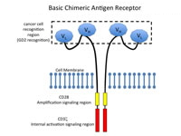 Figure 1: Basic Chimeric Antigen Receptor (CAR)