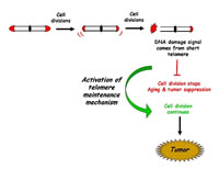 Report Figure 1: Telomere Dynamics in Aging and Cancer