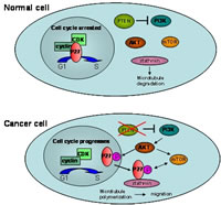 Figure 5: The p27kip1 function in a normal cell and a cancer cell