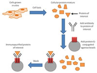 Figure 4: What is immunoprecipitation?