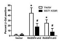 Report Figure 7: Kinase-dead MST1 K59R prevents senescence induction...