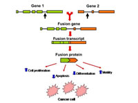 Figure 2: Generation of gene fusion and downstream effects.