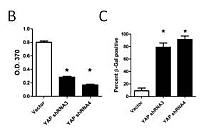 Report Figure 9: YAP loss-of-function leads to growth arrest and senescence...